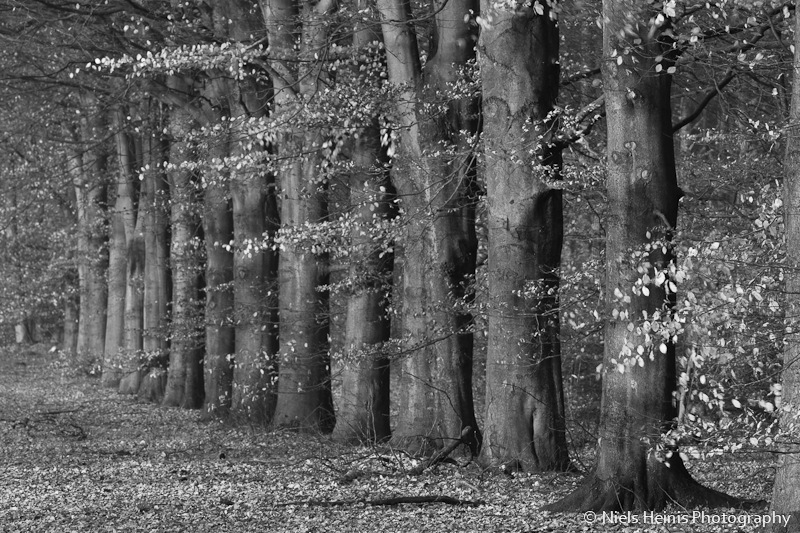 Beeches in Black and White
