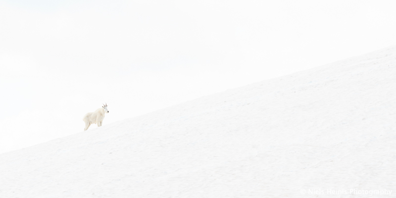 Mountain Goat - Glacier NP, Montana, USA