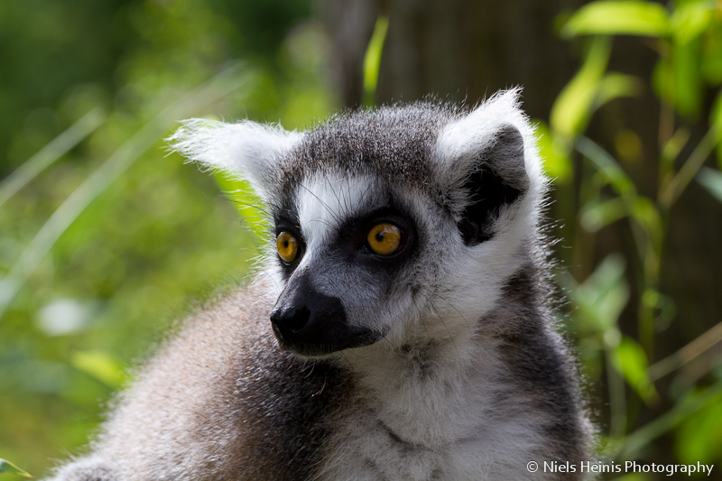 Ring-tailed lemur (Ringstaartmaki / Lemur catta)