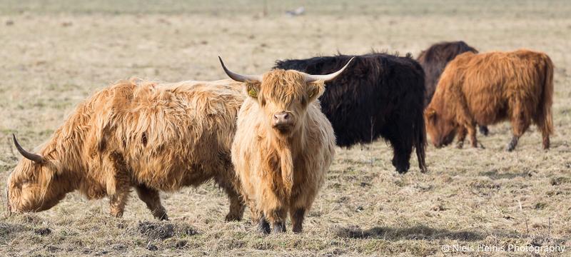 Schotse Hooglanders in NP Lauwersmeer
