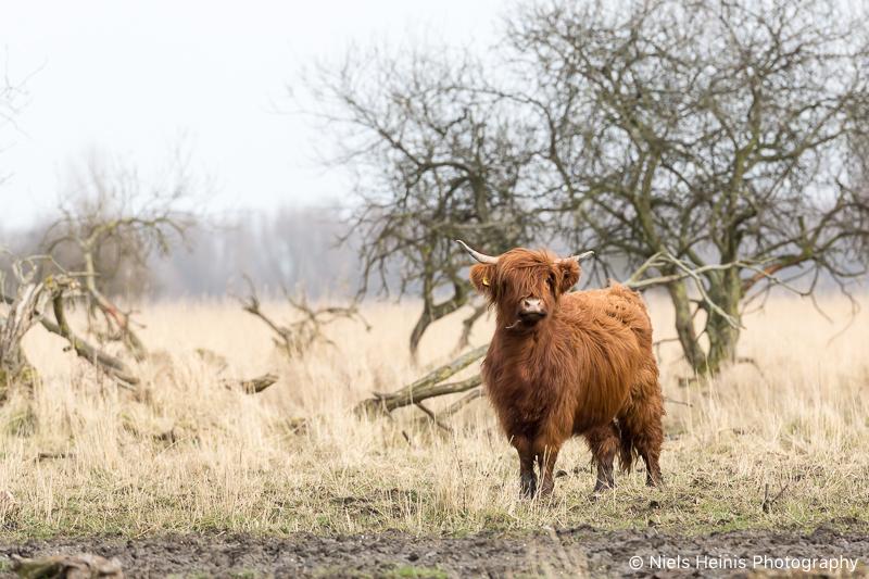Schotse Hooglander in NP Lauwersmeer