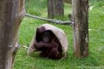 Orangutan (Orang-oetan / Pongo)