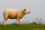 Sheep in evening sun