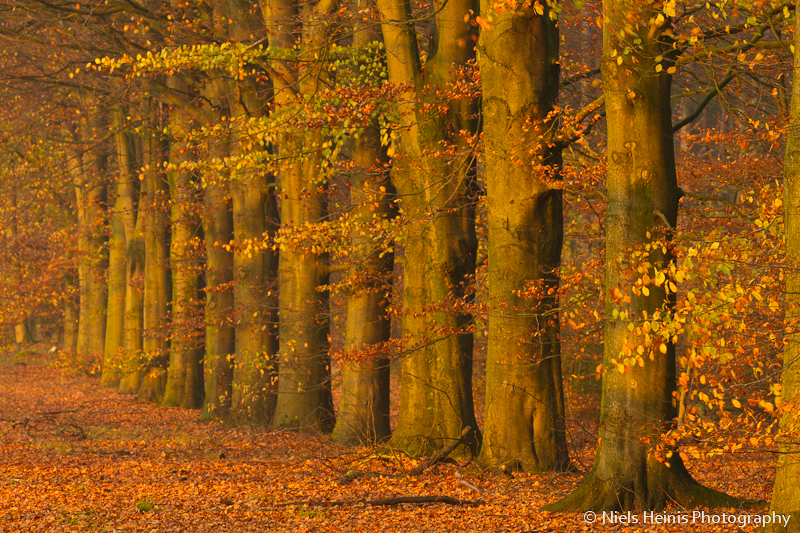 Beeches in full autumn colours