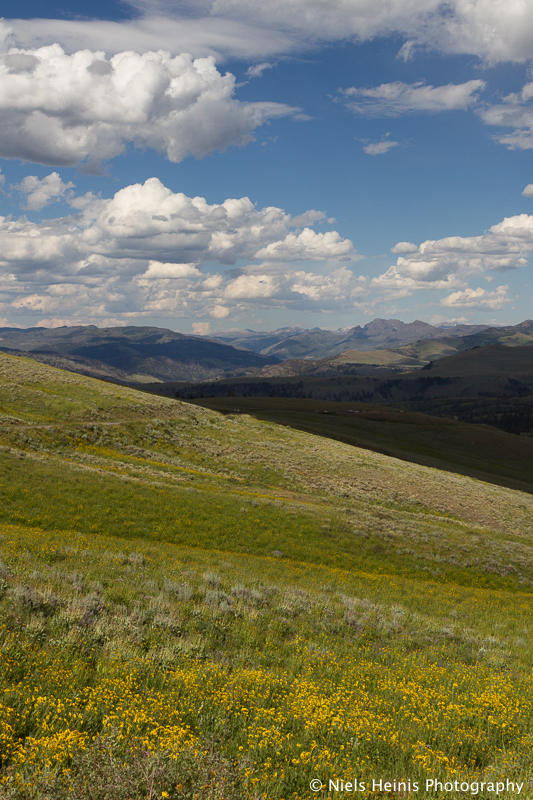 Arnica wildflowers in Yellowstone NP, Wyoming, USA