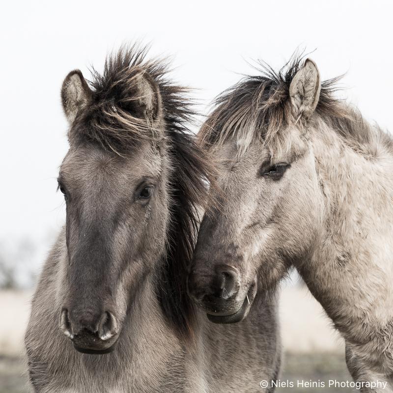 Konik horses in NP Lauwersmeer