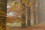 Autumn coloured beeches