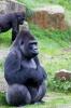 Gorilla Jambo (Gorilla / Gorilla)