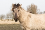 Konik horse in NP Lauwersmeer